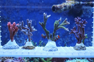 4er Montipora digitata Set